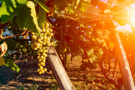 Close Up of Italian Grape Plantation in Summer before the Harvest. Perfect Background for Wine imagery and natural product promotion. White grape production for table in Italy on Blurred Background 版權商用圖片