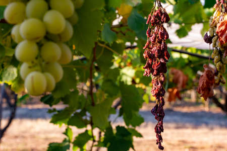 Close Up of Dried Grape Plantation in Summer. Perfect Background for Global Warming danger 版權商用圖片