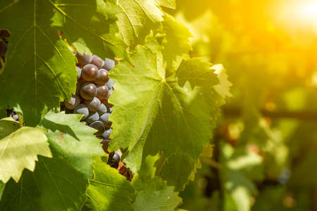 Horizontal View of Black or Red Grapes Plantation with Sun Flare on Blurred Background in Summer 版權商用圖片