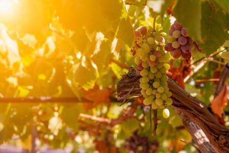 Horizontal View of Colored White and Red Grapes Plantation with Sun Flare on Blurred Background in Summer 版權商用圖片