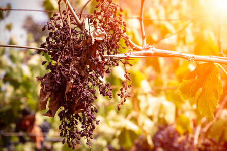 Horizontal View of Dried Black Grapes on Blurred Background in Summer. Concept of Lack of Water and Global Warming