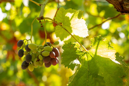 Horizontal View of Colored White and Red Grapes Plantation on Blurred Background in Summer