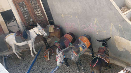 fira: Fira Donkeys, Santorini Stock Photo