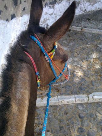 donkeys: Fira Donkeys in Santorini, Greece