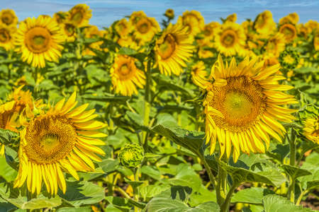 Close-up of a field of yellow sunflowers