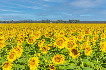 Field of sunflowers in bloom. In the background blue sky with some clouds