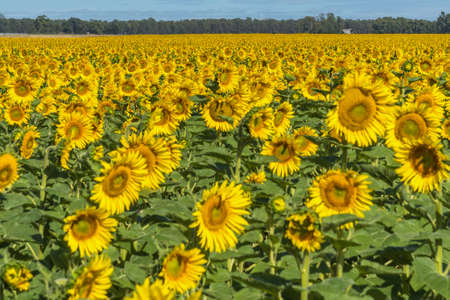 Field of sunflowers in bloom. Behind blue sky with some clouds. Focus in the background 版權商用圖片