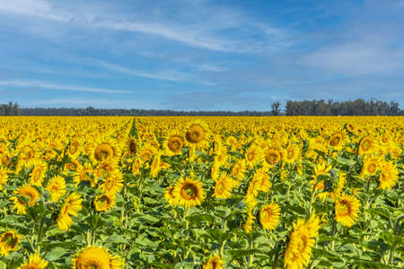 Field of sunflowers in bloom. In the background blue sky with some clouds. 版權商用圖片