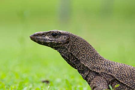 Monitor Lizard at Pulau Tioman