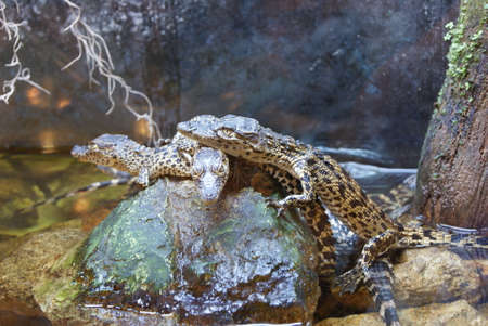 young alligators on a rock