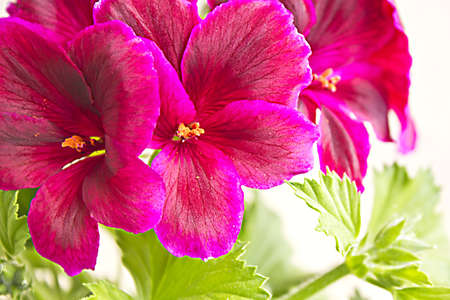 blossoming geranium photo