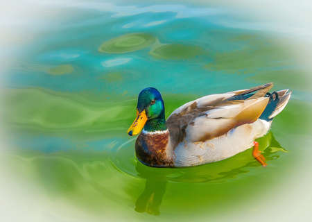 A wild duck swims in the river Stock Photo - 18365297
