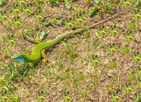 bilineata: green lizard Stock Photo