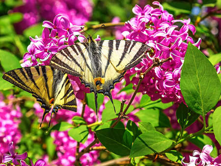A large yellow Tiger Swallowtail butterfly photo