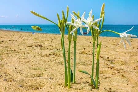 Sea daffodil grows on coastal sands  photo