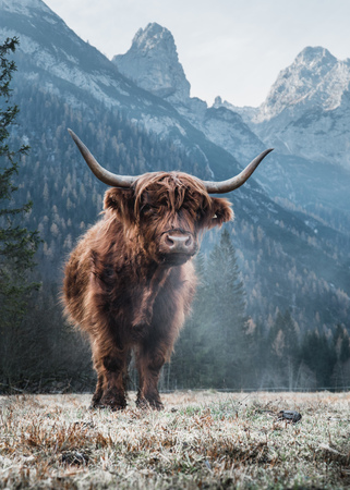 Single Bautiful Highland Cattle standing alone on a frozen Meadow in front of Huge Peaks in the Italian Dolomites Banque d'images