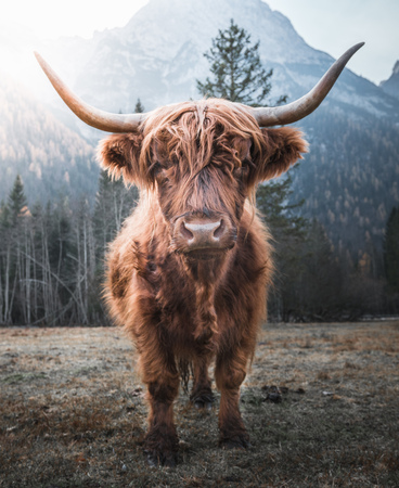 Beautiful horned Highland Cattle enjoying the Sunrise on a Frozen Meadow in the Italian Dolomites 写真素材