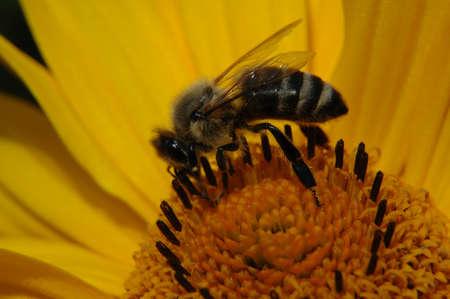 Macro bee on heliopsis blossom