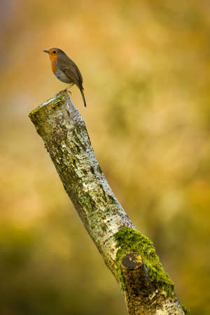Red Breasted Robin bird perched on tree stump in forest with blurred background.