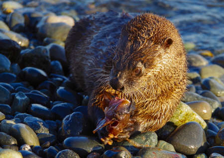 pacific northwest: A river otter holds a fish in its paws while eating on a pebbly beach in the Pacific Northwest in the evening sun. Stock Photo