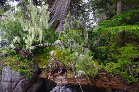 cicuta: madera de cedro, las ramas de líquenes cubierta, un tronco caído y otras plantas en rocas cerca de la orilla, en una isla en la selva del Gran Oso, Columbia Británica. Foto de archivo