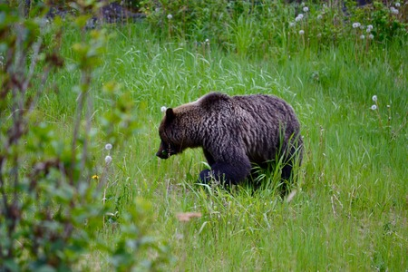 A grizzly bear wandering in the forest searching for food Фото со стока