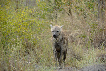 plan éloigné: Long shot of hyena emerging from bush, Kruger National Park, South Africa Banque d'images