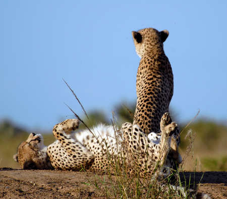 Two cheetah sitting on sand mound, South Africa Stock Photo