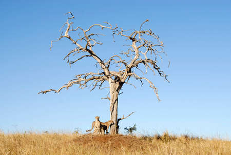 Cheetahs standing by dead tree, South Africa