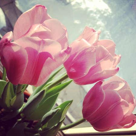 pink tulips: Beautiful Light Pink Tulips  Stock Photo