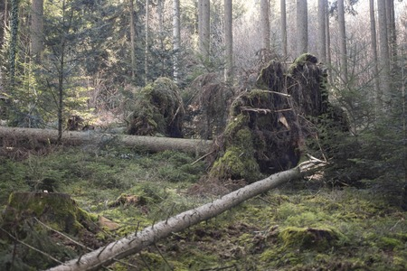 A tall thin tree fell over during the last storm
