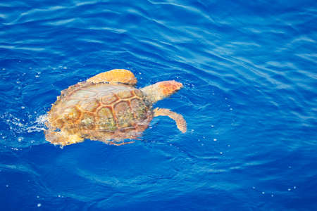 Turtle swimming in the Atlantic Ocean Stock Photo - 23103274