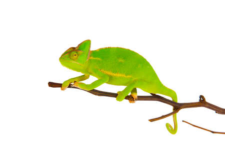 small reptiles: Chameleon on a branch over white background Stock Photo