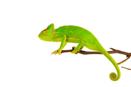 chameleon lizard: Chameleon on a branch over white background Stock Photo
