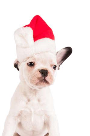 french bulldog puppy: French bulldog puppy with santa hat on white background