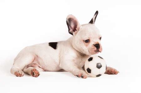 bulldog: cachorro de bulldog francés jugar con su pelota entre las piernas