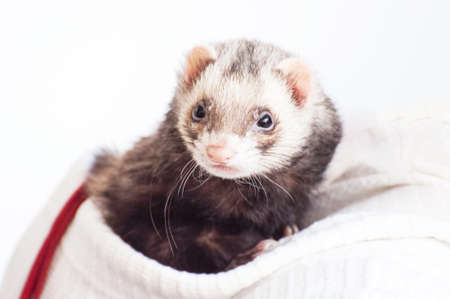 ferret: Docile ferret as a pet watching intently around