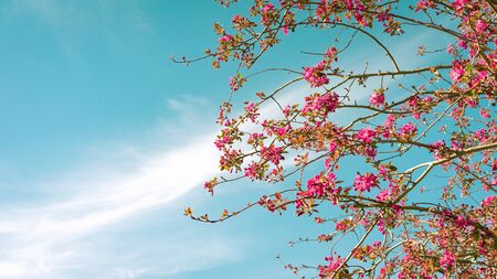 Panoramic image of cherry blossom with a turquoise blue sky in the background with clouds diagonally over the image, with space on the left. Spring concept.