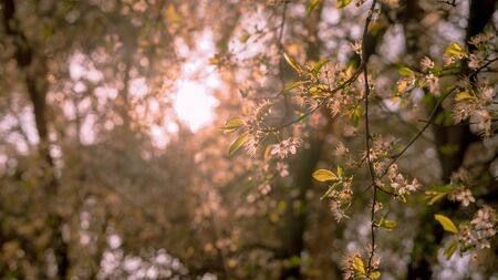 Branches of a tree with backlight white flowers with spring tones. Spring concept. Reklamní fotografie