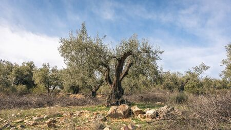 Olive tree fields in Madrid, Spain. Nature concept.
