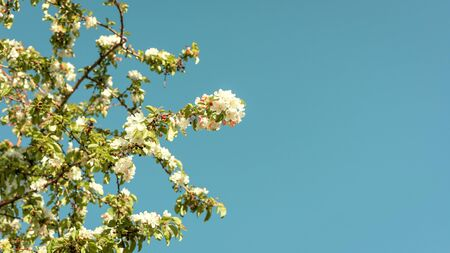 Beautiful cherry tree with white flowers on a turquoise blue sky, with space on the right. Spring concept.