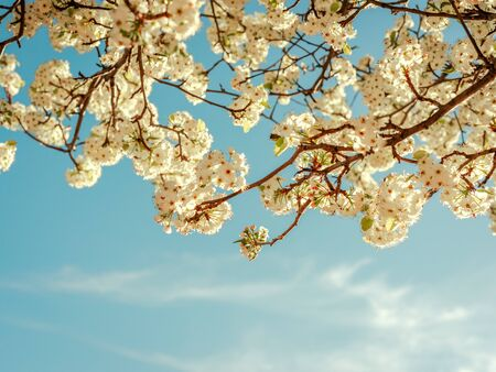 View of cherry tree branches with white flowers on a spring day at sunset, with a turquoise blue sky in the background. Concept of flowers in spring.