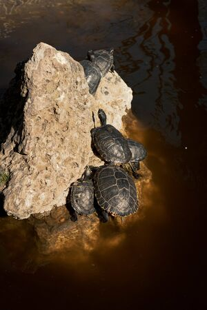Turtles climbing the rocks in the pond of the Quinta de los Molinos in Madrid, Spain. Concept of animals. Vertical image. Reklamní fotografie
