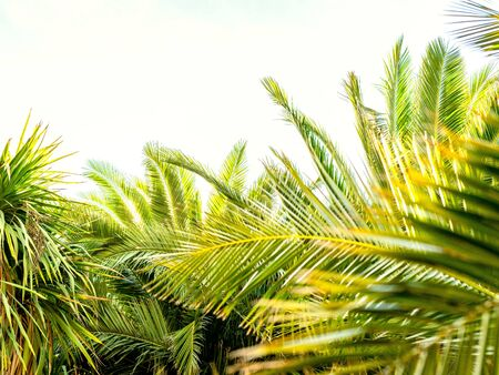 Palm leaves in the foreground on a white background with space at the top of the image. Concept of summer.