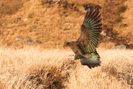 Kea (Nestor notabilis) New Zealand's mountain parrot captured landing with huge wings wide spread. Brown, green, orange colored feathers, big sharp claws and beak. Stockfoto