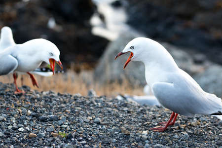 Two red billed gull males Chroicocephalus novaehollandiae scopulinus fighting to show dominance, ocean coast in Wellington. Grass, cliffs and ocean in background. Gulls have wide open beaks.