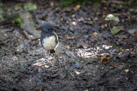 Closeup of cute South Island Robin bird (Petroica Australis) in a forest on the West Coast, New Zealand