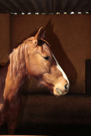 Horse profile in a stable