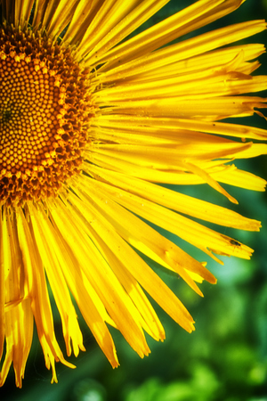 Yellow blooming margarites in a close-up view Stock Photo