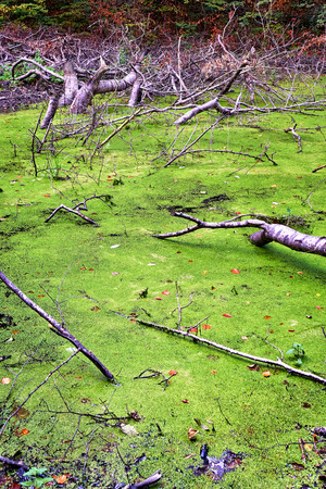 Green swamp with branches in the forest.